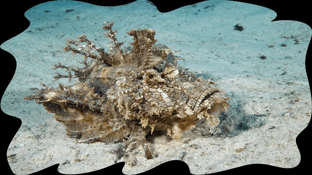 Paper scorpionfish